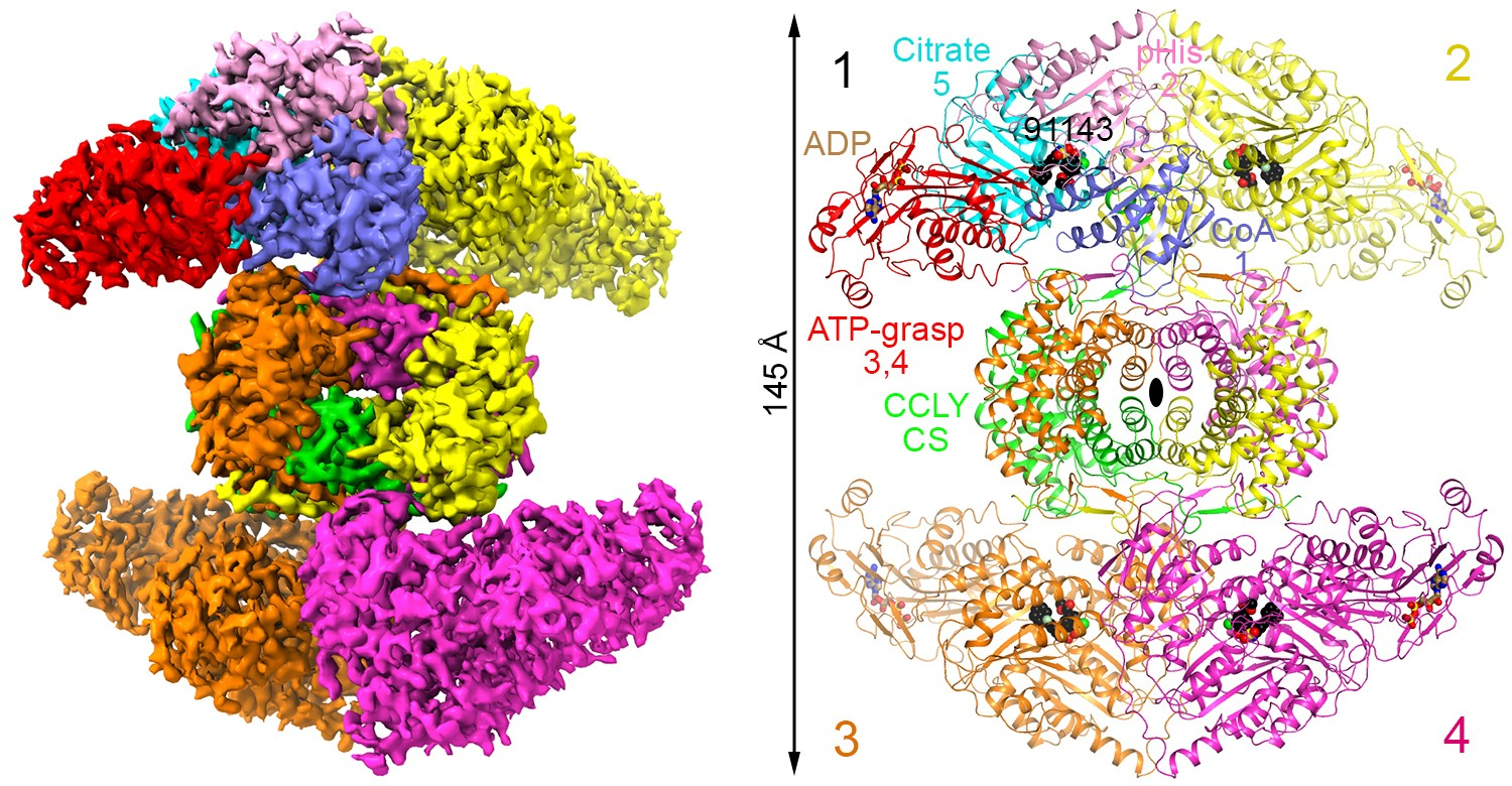 3D structure of the ACLY tetramer produced using cryo-EM